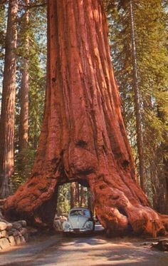 The Wawona Tree, also known as the Wawona Tunnel Tree, was a famous giant sequoia that stood in Mariposa Grove, Yosemite National Park, California, USA, until 1969. It had a height of 227 feet (69 m) and was 26 feet (7.9 m) in diameter at the base. The Wawona Tree fell in 1969 under a heavy load of snow on its crown. The giant sequoia is estimated to have been 2,300 years old. When the giant tree fell, there was much debate over what to do with it. It has remained where it fell primarily for…