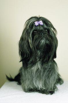 Emi  #shihTzu #dog #thebest #photo #session #sweet