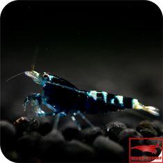 Taiwan Bee Black Pinto