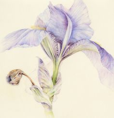 Connie Scanlon Botanical Art