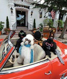 Diva Poodles! #dogs #poodles #pets #puppy #nuvetlabs #nuvet #nuvetplus #nujointplus #cute #animals
