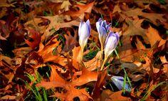 Herbstzeitlose im Laub - Jahreszeiten - Galerie - Community