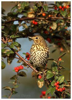 Love Birds, Beautiful Birds, Beautiful Images, Wildlife Photography, Animal Photography, Mistle Thrush, Song Thrush, Pyrography Designs, Black And White Birds