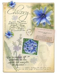 Chicory Bach Flower Remedy for unconditional love Chestnut Bud, Elixir Floral, Bach Flowers, Divination Cards, Botanical Drawings, Picture Cards, Different Flowers, Medicinal Herbs, Flower Pictures