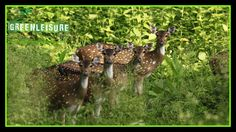 A rare click from #MuthangaWildlife  Enjoy the nature experience in #Wayanad with our Weekend Packages http://greenleisuretours.com/Vythiri-Wayanad-Packages.php   Reach us GreenLeisure Tours & Holidays for any #Kerala #Tour #Packages   www.greenleisuretours.com  Like us & Reach us https://www.facebook.com/GreenLeisureTours for more updates on #Kerala #Tourism #Leisure #Destinations #SiteSeeing #Travel #Honeymoon #Packages #Weekend #Adventure #Hideout — at Muthanga Wayanad.