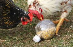 Natural Chicken Keeping: Cheep -n- Easy DIY Chicken Boredom Buster Toy! Buy holiday Coca Cola spherical bottles for the chickens!