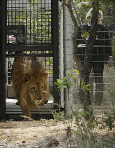 A former circus lion is released into an enclosure, at Emoya Big Cat Sanctuary in Vaalwater, South Africa, on Sunday.