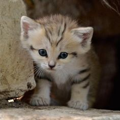 rare sand cat born in captivity. look at his cute little stripes <3
