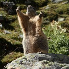 Funny Marmot Photo by Stefano Bodini -- National Geographic Your Shot #funny