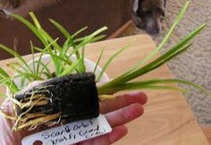 planting day lilies from seed