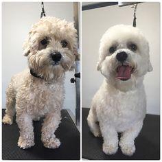 Bentley #terasgrooming #poodlemix #happydog #poodlelove #terastreats