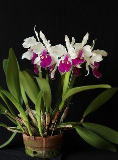 Cattleya warszewiczii | Foto: IMG_5637 | Sociedad Colombiana de Orquideología | Flickr Plants, Gardening, Ornaments, Pictures, Orchids, Plant, Planets