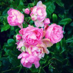 Fandt denne smukke lyserøde rose i vores have.  Den vil jeg lade være et symbol på Lyserød Lørdag til støtte mod brystkræft.  Jeg behandler mennesker, der er ramt af kræft, for de bivirkninger og følger denne sygdom kan give.  Derfor doneres 100 kroner for hver behandling i dag ubeskåret til Stafet For Livet - Horsens