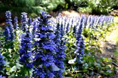18 Best Flowering Ground Cover Plants Ajuga Reptans 'Jungle Beauty' Ajuga, which is also called 'Bugleweed' is a genus of perennial or annual flowering plants. Perennial Ground Cover, Ground Cover Plants, Edging Plants, Garden Plants, Indoor Flowering Plants, Garden Web, Patio Plants, Balcony Garden, Planting Succulents