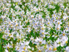 Poiana cu Narcise se afla la 5 km de Tg. Jiu, in loc. Preajba. Densitatea este de 70 - 90 flori / m²... Foto: Alin Brotea
