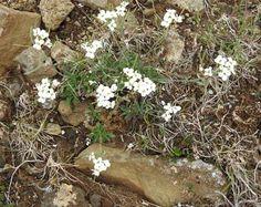 Iceland - Flowers page 4 - Northern Rock-cress Arabidopsis petraea