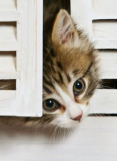 Kitten Peeking Head Out From White Shutters..