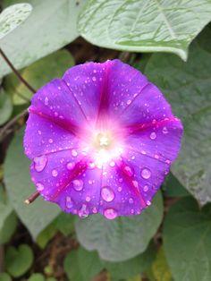 Morning Glory in the rain