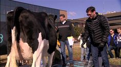 Cow Shits Everywhere Mike Golic, Mike Greenberg, Espn, Cow, Horses, Awkward, Challenge, Animals, Gallery