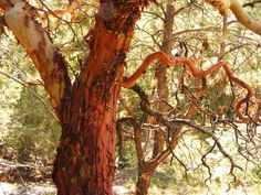 A Texas Madrone and its curious bark.