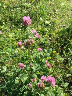 Er zijn ruim 40 wilde kruiden gezaaid in dE WildsTE TuiN, planten die lekker ruiken, mooi bloeien en/of je kunt opeten. Klaprozen, kaardenbollen, bijenvoer, slangenkruid, wilde sleutelbloemen en nog veel meer. Elk jaargetijde kent haar eigen bloemenpracht.