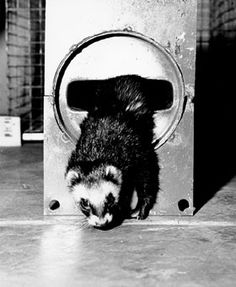 Felicia Ferret emerging from a 300-foot long vacuum pipe at the National Accelerator Laboratory. The tiny animal wears a special harness to which is fastened a string which she pulls through the pipe. Workmen can then fasten a swab to the string which when also pulled through the pipe, cleans out unwanted construction particles. Aug., 1971 (Photo by Tim Fielding, NAL)