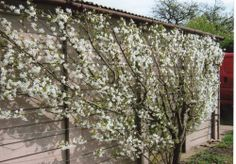 Morello Cherry trained to Espalier against the garage.