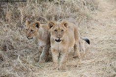 Cubs cubs!