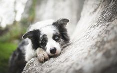 Border Collie, heterochromia, pets, cute animals, dogs, Border Collie Dog