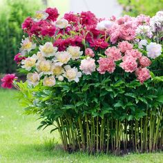 Peonies around screen porch with metal garden tower supports - we have 3-4 black metal supports