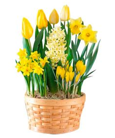 Lovely potted basket, great use of different heights. Tulips, Crocus, Daffodils.