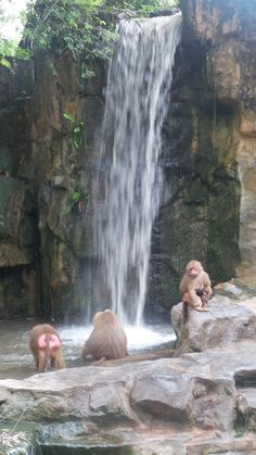 Singapore Zoo has some wonderful animal enclosures and exhibits, a must do when travelling to Singapore with kids. Singapore With Kids, Singapore Zoo, Singapore Travel, Travelling, Waterfall, Explore, Animals, Outdoor, Outdoors
