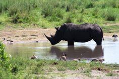 Begegnung mit dem Nashorn - im Hluhluwe Nationalpark in Kwazulu Natal fast garantiert. Der Hluhluwe Nationalpark ist einer der landschaftlich schönsten Nationalparks mit hoher Wilddichte. Spitzhorn - und Breitmaulnashörner genießen hier besonderen Schutz südafrika, südafrikareise, südafrika safari, kwazulu natal, safari kwazulu natal, rhinozeros, safariurlaub Livingstone, Pretoria, Nationalparks, Namibia, Animals, South Africa Safari, White Rhinoceros, Zimbabwe, Wine Country