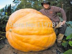 20Pcs Super Large Pumpkin Seeds Vegetable NON-GMO Edible DIY home garden bonsai Giant pumpkin seed gift for Halloween fun plants