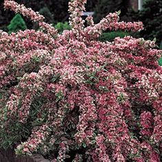 63 best flowering deciduous shrubs and trees images on pinterest variegated weigela the perfect flowering shrub for bird lovers flowering from late spring into mightylinksfo
