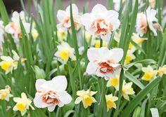 4 ideaa pääsiäisen narsissi-istutukseen. Kuvan kerrottukukkainen narsissi on 'Flower Parade'. Kuva Minna Mercke Schmidt