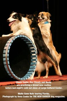 Those touring trouba-dogs, #Mutts Gone Nuts, and their humans left behind more than three feet of snow in Maryland. #DestinationFlorida and four Florida gigs. First show: #Largo Cultural Center for a sold-out show last night. We caught up with them yesterday afternoon during a rehearsal. The dogs, all of them rescues, are superbly #talented. We didn't know who was having more #fun - the dogs or the humans (or us, watching). Tonight, Sanibel.