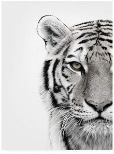 Animal Drawings ALU ART - WHITE TIGER, Malerifabrikken - Revive your inner Tiger! Self-confident, independent and autonomously: this animal-image is the perfect accessory for your interiors. Tiger Sketch, Tiger Drawing, Tiger Artwork, Tiger Painting, Tiger Tattoo Design, Tiger Design, Animals Black And White, Black And White Posters, Tiger Wallpaper Iphone