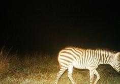 Baby Zebra <3 Baby Zebra, Animals, Animales, Animaux, Animais, Animal