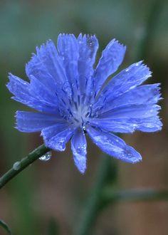 ✯ Blue Flower .. By sammo371✯