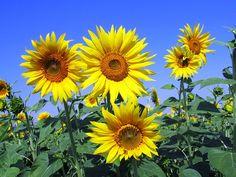 Se c'è un fiore che più di tutti simboleggia l'estate quello è indiscutibilmente il Girasole: aspetto, colori, stagione, è un piccolo sole vegetale.
