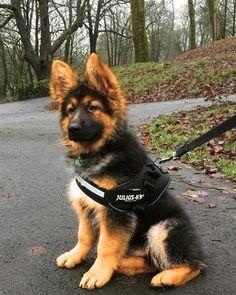archie reminds me of a german shepherd puppy http://ift.tt/2Bz4vcU