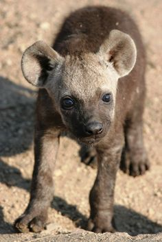 Volunteer abroad with Via Volunteers in South Africa during your gap year and check out our gorgeous babies in the wild! https://www.viavolunteers.com/Hyena pup in the Kruger National Park.
