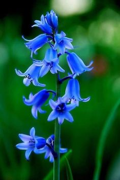 Blue bells #flowers