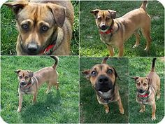 Huntingtown, MD - Jack Russell Terrier/Chihuahua Mix. Meet MItchie a Dog for Adoption.
