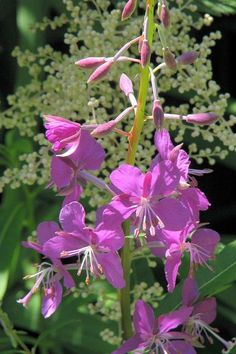 Fireweed by Frank Townsley