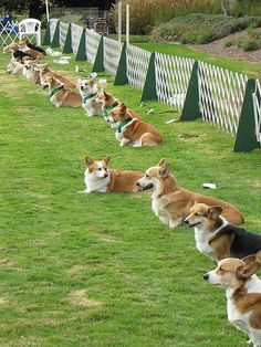Corgis all sitting attentivly...except one...there always has to be someone that does it their way...this dog could be my Corgi