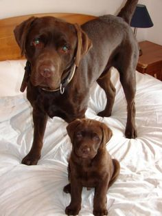 Chocolate labrador, if my dog had a pup this would be them!