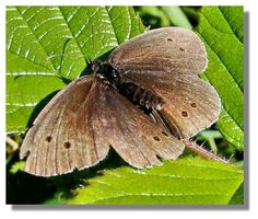 Ringlet Butterfly-wingspan fly in dull weather-wet grassland Scotland, Butterflies, Flora, Weather, Butterfly, Plants, Weather Crafts