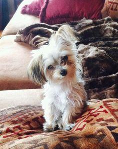 Yorkie poo puppy:)